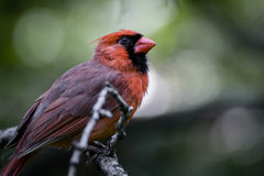 Ptak - kardynał na gałąź Obrazy Royalty Free