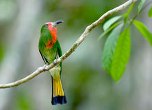 Ptak (Miedzianobrody zjadacz), Tajlandia obraz stock