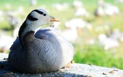 Ptak migrujący Qinghai jezioro Zdjęcia Royalty Free