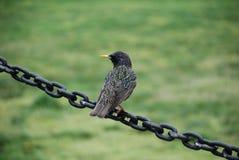 Ptak na łańcuchu Obrazy Stock