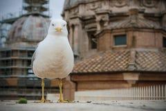 Ptak na dachu St Peter bazylika zdjęcia stock
