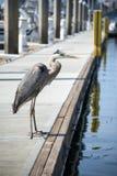 Ptak na doku Obrazy Royalty Free