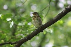 Ptak na gałąź Obrazy Royalty Free