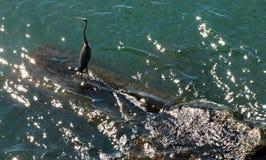 Ptak na Jeziornym Erie Zdjęcie Stock
