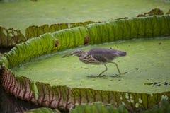 Ptak na liściach Wiktoria amazonica w stawie Obrazy Royalty Free