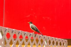 Ptak na mieście Fotografia Royalty Free