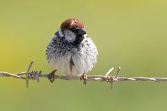 Ptak na ogrodzeniu Fotografia Royalty Free