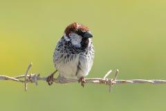 Ptak na ogrodzeniu Obraz Royalty Free