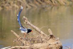 Ptak na winogronie zdjęcia royalty free