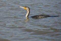 Ptak na wodnym Południowa Afryka obraz royalty free