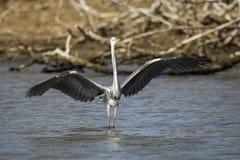 Ptak na wodnym Południowa Afryka zdjęcia royalty free