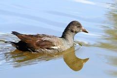 Ptak na wodzie obrazy royalty free