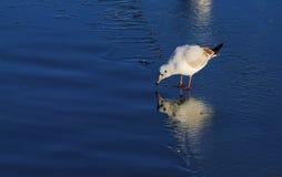 Ptak na zamarzniętej rzece Fotografia Royalty Free