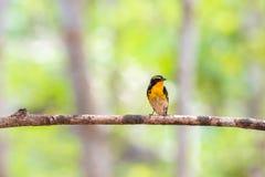 Ptak (narcyza Flycatcher) na drzewie Fotografia Stock