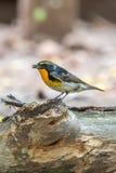Ptak (narcyza Flycatcher) na drzewie Zdjęcia Royalty Free