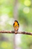 Ptak (narcyza Flycatcher) na drzewie Zdjęcie Royalty Free