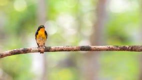 Ptak (narcyza Flycatcher) na drzewie Zdjęcie Stock
