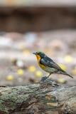 Ptak (narcyza Flycatcher) na drzewie Obraz Royalty Free