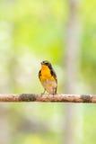 Ptak (narcyza Flycatcher) na drzewie Obrazy Royalty Free