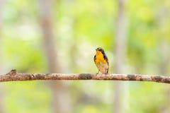 Ptak (narcyza Flycatcher) na drzewie Zdjęcia Stock