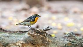 Ptak (narcyza Flycatcher) na drzewie Fotografia Royalty Free