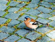 ptak, natura, zięba, przyroda, zwierzę, finch, rudzik, wiosna, belfer, gałąź piórkowa, dziki, grubodziób, zieleń, mała, ptaki, dr zdjęcia royalty free