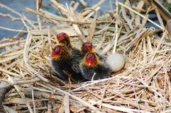 ptak nieśmiały Zdjęcie Royalty Free