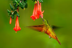 Ptak od Peru Pomarańcze i zieleń ptak w lesie z czerwonym kwiatem Hummingbird kasztanu Coronet w lasowym Hummingb Zdjęcia Royalty Free