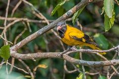 Ptak, Okapturzająca wilga, umieszczająca, drzewo, zakrywająca pająk sieć Obraz Royalty Free