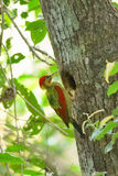 Ptak (Oskrzydlony dzięcioł) gniazduje na drzewie Obraz Stock