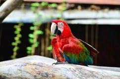 Ptak, papuga, ara, zwierzę Fotografia Royalty Free