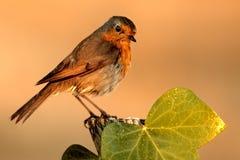ptak patrzy kamery. Obrazy Stock