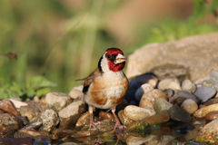 Ptak pije wodę fotografia stock