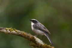 Ptak, Popielaty Bushchat (Saxicola ferreus) Zdjęcie Stock