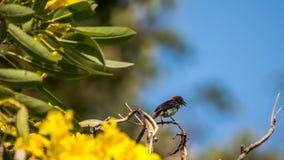 Ptak (Popierający Flowerpecker) na drzewie Zdjęcie Stock
