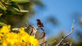 Ptak (Popierający Flowerpecker) na drzewie Obrazy Royalty Free