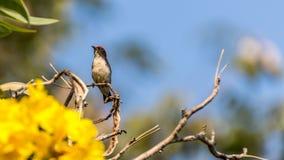 Ptak (Popierający Flowerpecker) na drzewie Obraz Royalty Free