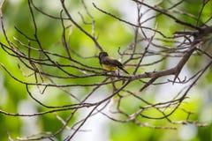 Ptak (Popierający sunbird) na drzewie Obraz Royalty Free