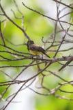 Ptak (Popierający sunbird) na drzewie Obraz Stock