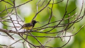 Ptak (Popierający sunbird) na drzewie Zdjęcie Royalty Free