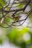 Ptak (Popierający sunbird) na drzewie Fotografia Royalty Free
