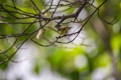 Ptak (Popierający sunbird) na drzewie Obrazy Stock