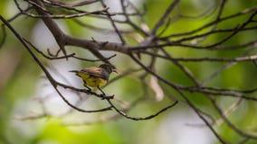 Ptak (Popierający sunbird) na drzewie Zdjęcie Stock