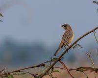 Ptak Przewodzący chorągiewki Emberiza melanocephala umieszczający Zdjęcie Royalty Free