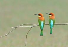Ptak (Przewodzący zjadacze), Tajlandia Zdjęcie Royalty Free