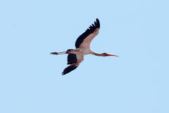 Ptak przy Chobe N P Botswana, Afryka Obrazy Royalty Free