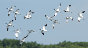 Ptak, ptak Tajlandia, Przesiedleńczych ptaków Pied Avocet Zdjęcie Stock