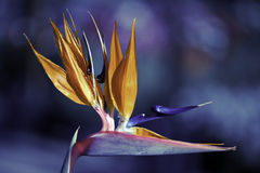Ptak raj Obrazy Stock