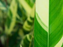 Ptak raj zieleni liście z Białymi lampasami fotografia stock
