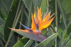 ` ptak raju ` Fotografia Royalty Free